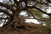 Old pinetree (Pinus sylvestris), Beekhuizerzand, Veluwe, The Netherlands