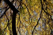 Autumncolours in a beechforest (Fagus sylvatica), Goedenraad, Zuid-Limburg, Nederland