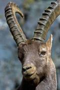 Ibex, Gran Paradiso, Italy