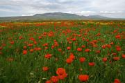 Poppies, Turkey