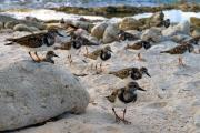 Ruddy Turnstones (Arenaria interpres), Windsock, Bonaire