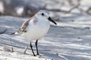 Sanderling (Calidris alba), Little Bonaire