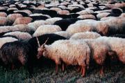 Racka sheep, Hortobagy, Hungary