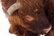 Highland bulls in the snow, Epen, South-Limburg, The Netherlands