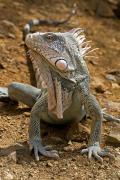 Green Iguana (Iguana iguana), Karpata, Bonaire, Netherlands Antilles