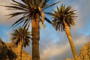 Canary palm trees at La Playa. La Gomera, Canary islands