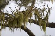 Beardmoss at a Canary pinetree (Pinus Canariensis), La Palma, Canary islands
