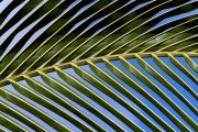 Palmtree leaf near Tazacorte. La Palma, Canary islands