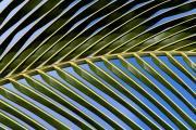 Palmtree leaf near Tazacorte. La Palma, Canary islands