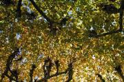 Planetrees, Sarlat, Dordogne, France