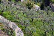Olivetrees, Assisi, Umbria, Italy