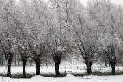 Willowtrees in the snow. Stokhem, South-Limburg, The Netherlands