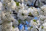 Cherry Blossom near Bemelen, Bemelen, South-Limburg, The Netherlands