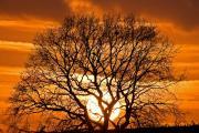 Oak tree (Quercus Robur), Stokhem, South-Limburg, The Netherlands