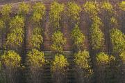 Poplars near Trémolat, Dordogne/ Perigord, France