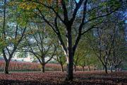 Walnuttrees near Les Milandes, Dordogne/ Perigord, France