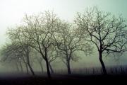 Walnuttrees near Daglan, Dordogne/ Perigord, France