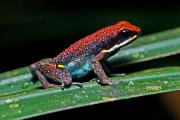 Ruby poison-dart frog (Epipedobates Parvulus),  Amazon tropical rainforest, Cuyabeno national park, Ecuador, July 2010