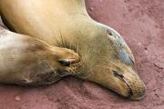 Galapagos Sealions (Zalophus Wollebacki), Isla Rabida, Red Beach, Galapagos Islands, Ecuador, July 2010