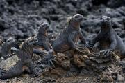 Marine Iguanas (Amblyrhynchus Cristatus Hassi), Las Tintoreras, Isla Isabela, Galapagos Islands, Ecuador, July 2010