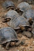 Galapagos giant tortoises (Geochelone spp.), Charles Darwin research Station, Isla Santa Cruz, Galapagos Islands, Ecuador, July 2010