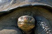 Galapagos giant tortoise (Geochelone Nigrita), dome-shaped tortoise, Isla Santa Cruz, Galapagos Islands, Ecuador, July 2010
