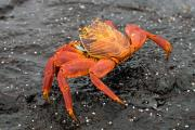 Sally Lightfoot Crab (Grapsus Grapsus), Isla Bartolome, Galapagos Islands, Ecuador, July 2010