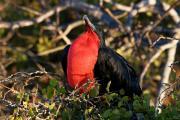 Magnificant Frigatebird (Fregata Magnificens), Isla Seymour, Galapagos Islands, Ecuador, July 2010