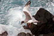 Swallow-tailed gull (Larus Furcatus), Isla Plaza South, Galapagos Islands, Ecuador, July 2010