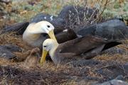 Waved Albatrosses (Phoebastria Irrorata), Punta Suárez, Isla Espagnola, Galapagos Islands, Ecuador, July 2010