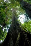 Ceibo (Ceiba Pentandra), Amazon tropical rainforest Cuyabeno national park, Ecuador, July 2010