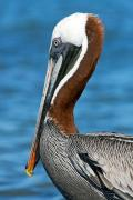 Brown pelican (Pelecanus Occidentalis Urinator), Isla Baltra, Galapagos Islands, Ecuador, July 2010