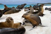Galapagos Sealions (Zalophus Wollebacki), Gardner Bay, Isla Espagnola, Galapagos Islands, Ecuador, July 2010
