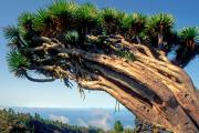 Canary island dragon tree or Drago (Dracaena draco), Tijarafe, La Palma, Canary islands