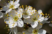 Blackthorn (Prunus Spinosa), Wijlre, South-Limburg, The Netherlands
