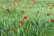 Barley, poppies (Papaver) and cornflower (Centaeurea Cyanus), plateau van Margraten, South-Limburg, The Netherlands