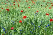 Barley, poppies (Papaver) and cornflower (Centaeurea Cyanus), plateau van Margraten, South-Limburg, The Netherlands