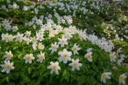 Wood anemones (Anemone nemorosa), Gulpen, South-Limburg, The Netherlands