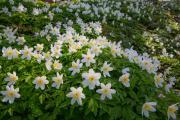 Wood anemones (Anemone nemorosa), Gulpen, South-Limburg, The Netherlands