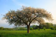 Appeltree, Wijlre, South-Limburg, The Netherlands