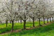 Cherry orchard, Cadier en Keer, South-Limburg, The Netherlands