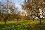 Apple orchard, Gerendal, South-Limburg, The Netherlands