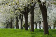 Cherry orchard, Margraten, South-Limburg, The Netherlands