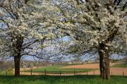 Cherry orchard, Eckelrade, South-Limburg, The Netherlands