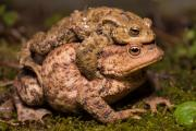 Common Toads (Bufo Bufo), Stokhem, South-Limburg, The Netherlands