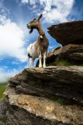Mountain goat, First, The Bernese Oberland, Switserland