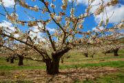 Cherry orchard near Aguessac, Cévennes, France, April 2016